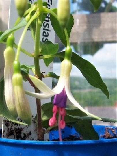 Fuchsia variety Venus Victrix