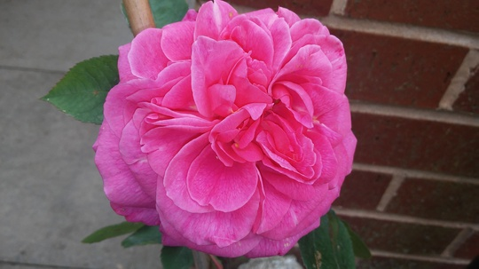 Highly scented Rose.