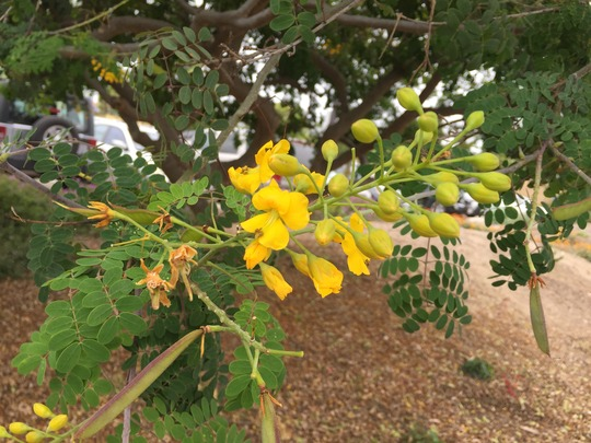 Caesalpinia mexicana -  Mexican Bird-of-Paradise (Caesalpinia mexicana -  Mexican Bird-of-Paradise)