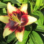 Another Lily (Lilium)