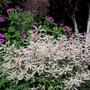 Aruncus Misty Lace and Geranium Psilostomon
