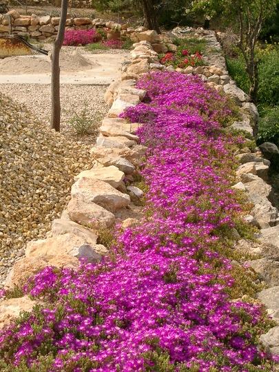 Spanish garden (Lampranthus spectabilis (Trailing Ice Plant))