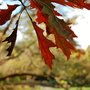 Autumn colours (Quercus coccinea)