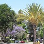 Nice view.. (Jacaranda mimosifolia (Brazil Rosewood))