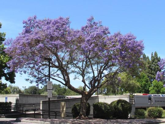 Jacaranda.. (Jacaranda mimosifolia (Brazil Rosewood))