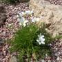 Linum suffruticosum salsoides (Linum suffruticosum)