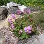 Geranium dalmaticum (Geranium dalmaticum)