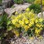Verbascum 'Letitia' (Verbascum)