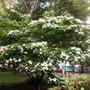 Cornus Kousa Tree