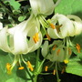 Lily Surprise (Lilium martagon Alba)