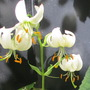Martagon Lily Revealed (Lilium martagon (Common turkscap lily))