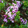 Daphne 'Rosy Wave'