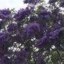 Jacaranda mimosafolia - Jacaranda Tree Flowering (Jacaranda mimosafolia - Jacaranda Tree)