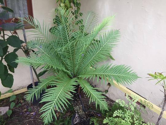 Dwarf Fijian Tree Fern - Blechnum gibbum (Blechnum gibbum)
