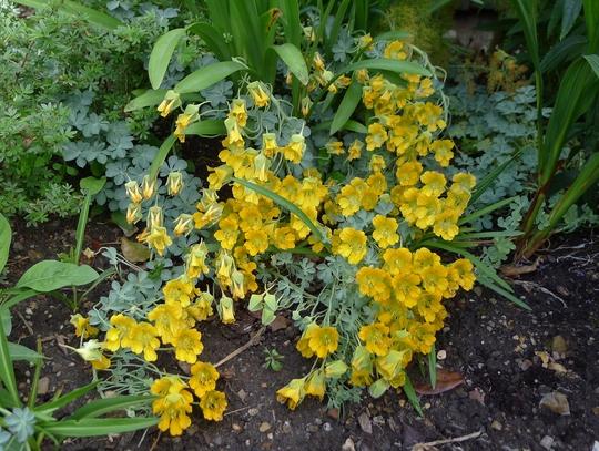 Tropaeolum polyphyllum - 2017 (Tropaeolum polyphyllum)