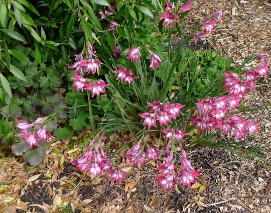 Gladiolus x colvillei - 2017 (Gladiolus x colvillei)