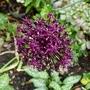 Allium_atropurpureum_2017