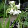 Primula alpicola - 2017 (Primula alpicola)