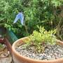 Clematis columbiana var tenuiloba 'Ylva' (Clematis columbiana)