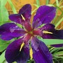 Water Iris Louisiana  Blackgame cock