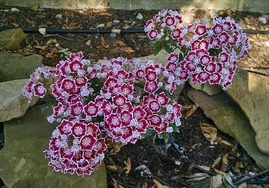 Kalmia latifolia 'Minuet' (Kalmia latifolia (Calico bush))