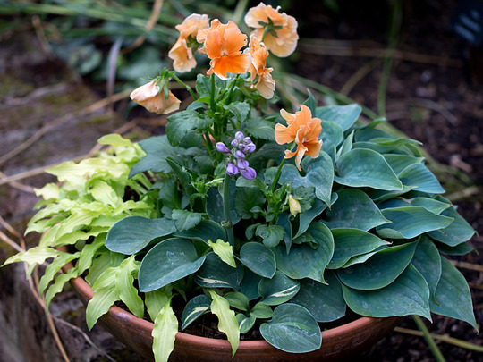 Various miniature hostas and pansy (Hosta venusta)