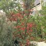 For Csarina Crinodendron Hookerianum