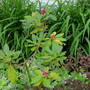 Rhododendron English Pink, Summer Wine Weigela, Aegopodium, and Hemerocallis