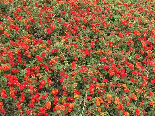 Lantana camara - Common Lantana (Lantana camara - Common Lantana)