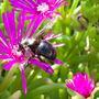 Happy bee (Delosperma sutherlandii)