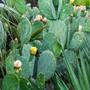 Opuntia (Opuntia ficus-indica (Barbary Fig))