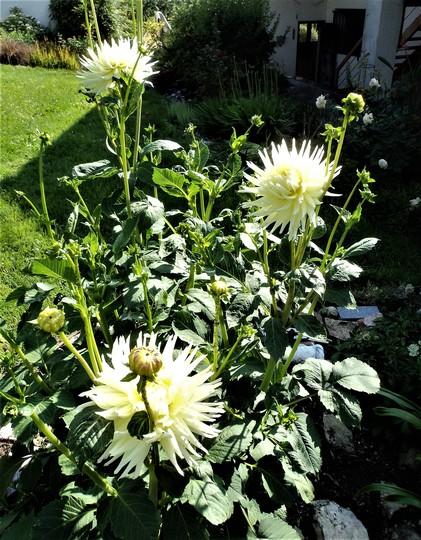 Dahlia 'Shooting Star' (dahlia cactus)
