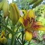 Second Lily (Lilium)
