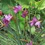 Dierama pulcherrimum (Angel's fishing rod)