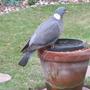 Wood Pigeon on the WaterLily Tub. (Pigeon)