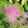 Thalictrum aquilegifolium I think (Thalictrum aquilegiifolium (Meadow Rue))