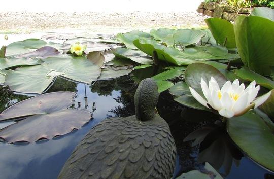 Ducky enjoying the water lilies.   (Nymphaea alba (Nenufar Blanco))