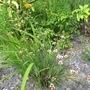 Sisyrinchium 'Buscuitel' (Sisyrinchium striatum (Sisyrinchium))
