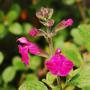 """Salvia microphylla """"Pink Blush"""" (Salvia microphylla)"""