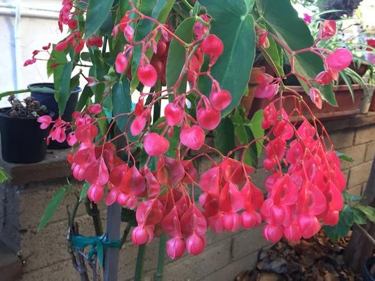 Angel Wing Stem Begonia Flowering (Angel Wing Stem Begonia)