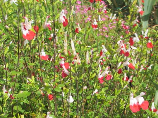 Salvia 'Hot Lips' (Salvia microphylla)