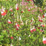 Salvia 'Hot Lips' (Salvia microphylla)