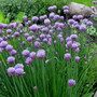 Chives... chiving.