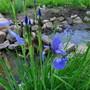 Siberian Iris, 2017