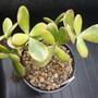 P1040537succulent