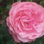 Close up of Leonardo da vinci scented