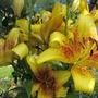 So many flowers (Lilium)