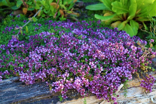 Thyme 'Russettings' in full bloom (Thymus serpyllum (Creeping thyme))