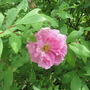 First blossom Rosa Therese Bugnet 2017