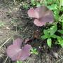 Ligularia seedling